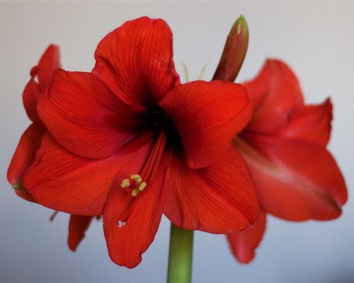 Amaryllis Blooms