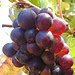 Last grapes after the harvest