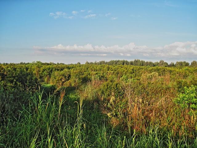 Shrub Overgrowth in wetlands preserve 20131013
