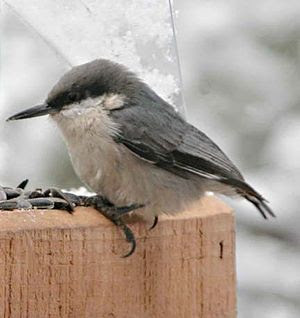 Pygmy Nuthatch (Sitta pygmaea) at a feeder.