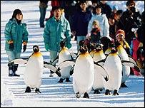 Penguins taken for a walk at Asahiyama Zoo (Credit: Asahiyama Zoo)