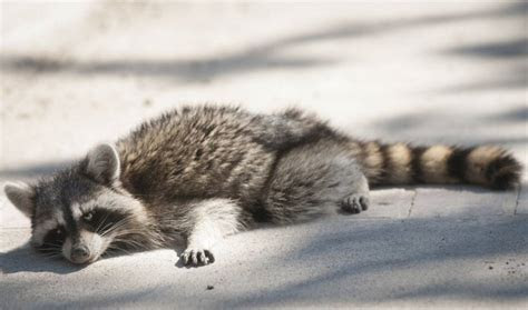 Spot a Sick Raccoon? Stay Away and Call Animal Control!   Pest Control Services Burlington