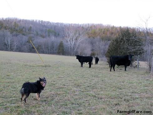 Lucky Buddy Bear, ace cattle dog (6) - FarmgirlFare.com