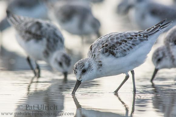 Wildlife Photography by Pat Ulrich: Sanderlings &emdash; Backlit sanderlings in Maine