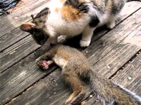 Cat Eating Squirrel   YouTube