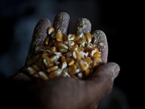 José Batista mostra milho das Sementes  da Paixão em Queimadas, na Paraíba (Foto: Fernanda Rappa/Divulgação)