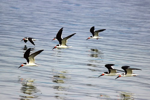 IMG_3552_Black_Skimmers_in_Flight