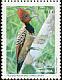 Kaempfer's Woodpecker Celeus obrieni