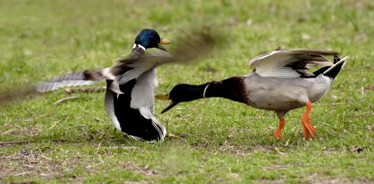 http://beardedgentlemenmusic.com/wp-content/uploads/2012/03/duck-fight.jpg