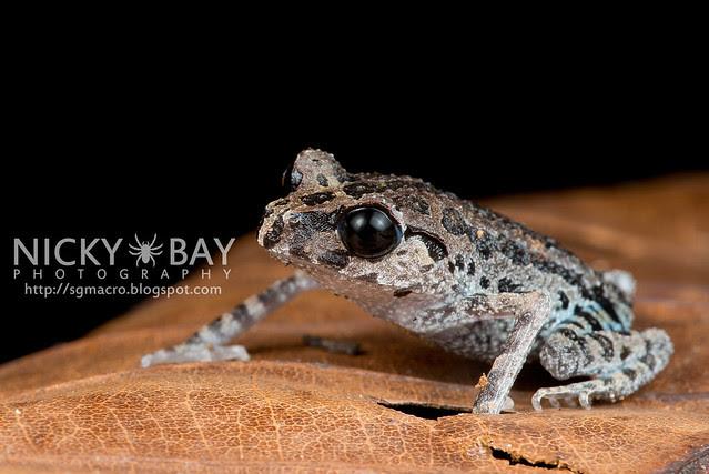 Black-eyed Litter Frog (Leptobrachium nigrops) - DSC_8588