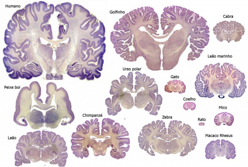 comparacao_cerebro_homem_outras_espoecies_02[1]