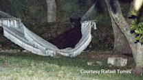 Bear lounges in Florida hammock