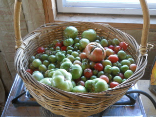 Spring Garden 2012 Basket of December Tomatoes