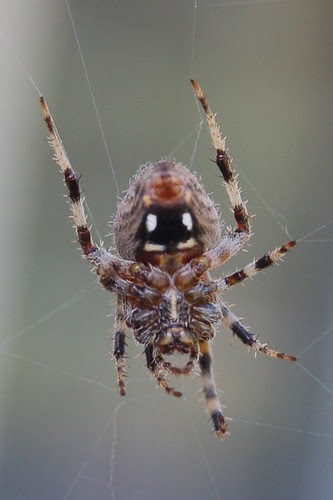 Smiling Spider Butt