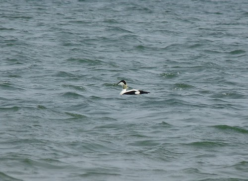 12385 - Eider on the Burry Inlet