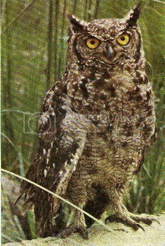 Pg10-6, SPOTTED EAGLE OWL