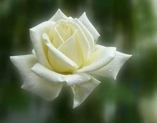 Uma Rosa Branca Linda