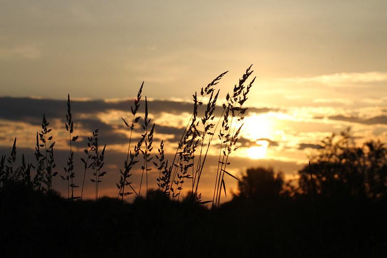 sunset behind tall grass