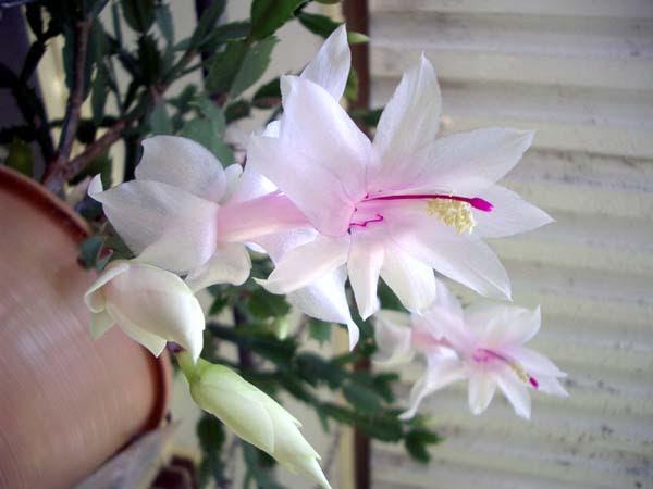 http://ozladym.com/pics/Cacti%20and%20Succulents/Zygocactus%20or%20Schlumbergera%20bridesii%201.jpg