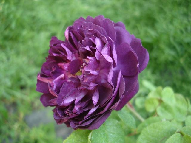 rosa Cardinal Richelieu