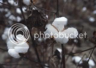 gambar pokok kapas