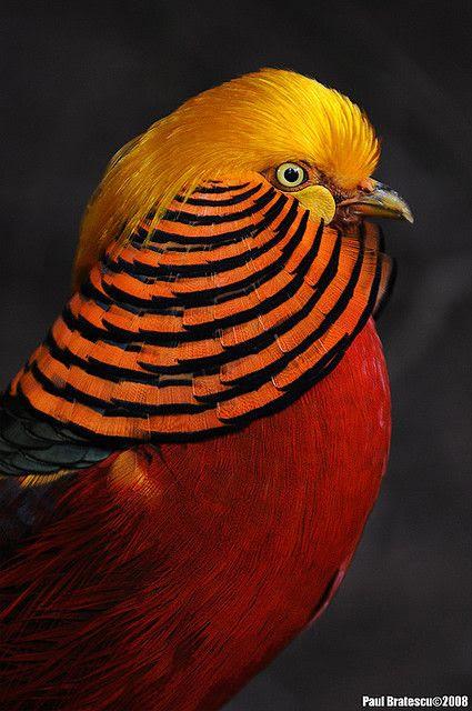 bird, orange