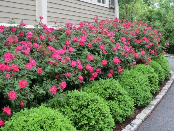 Alternatives To Knockout Roses