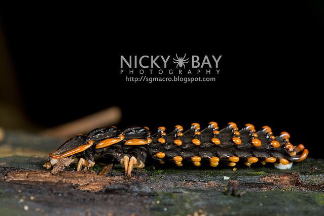 Trilobite Beetle (Duliticola sp.) - DSC_7455