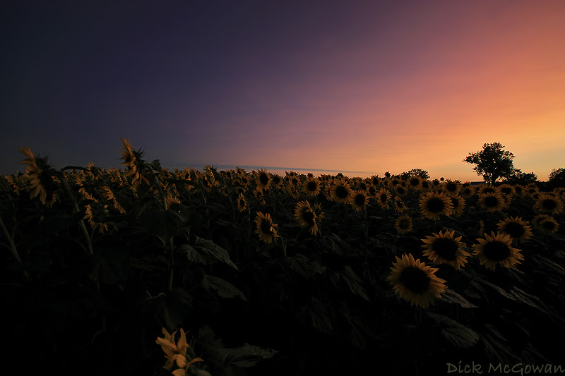 Kasatochi Sunset + Sunflowers