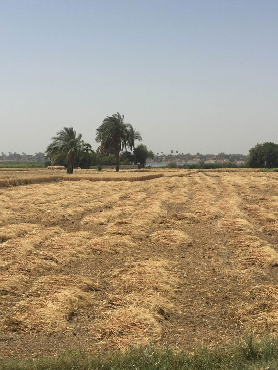 محصول القمح باسيوط (3)