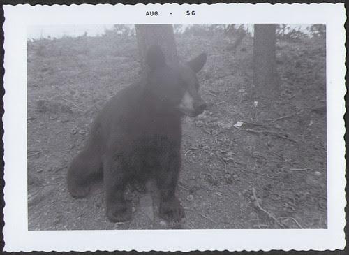 Yellowstone1956_Bear
