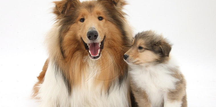 Sable Rough Collie Puppies