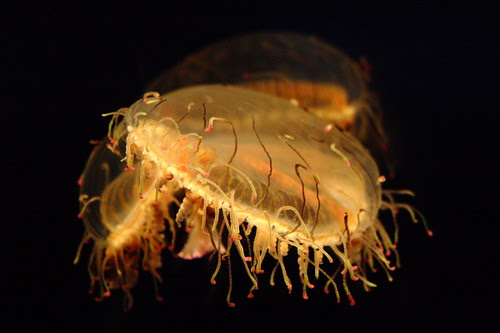 Delicate and beautiful jellyfish in the Osaka Aquarium