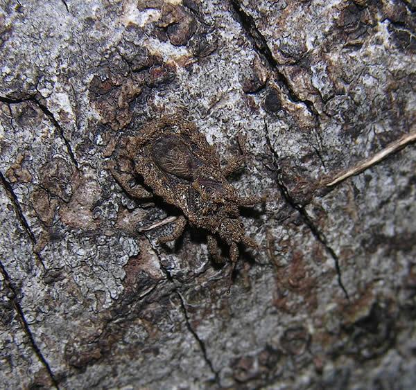 Bark Bug, Peruvian Amazon