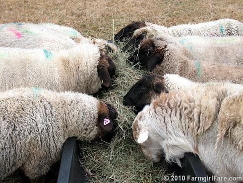 Hay Eating 1