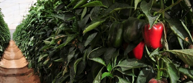 Peppers are the biggest export crop in the Arava. Farmers there use insects to control thrips, the main scourge of the pepper crop. Photo of farm in Arava by Flash90.