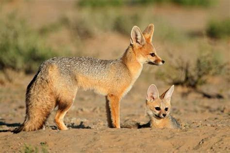 Cape Fox   Mammals of South Africa
