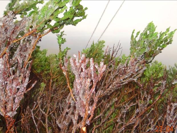 Frio congelou as plantas na Serra de SC (Foto: Reprodução/RBS TV)