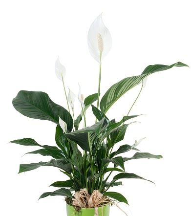 5 Indoor Plants that Purify the Air