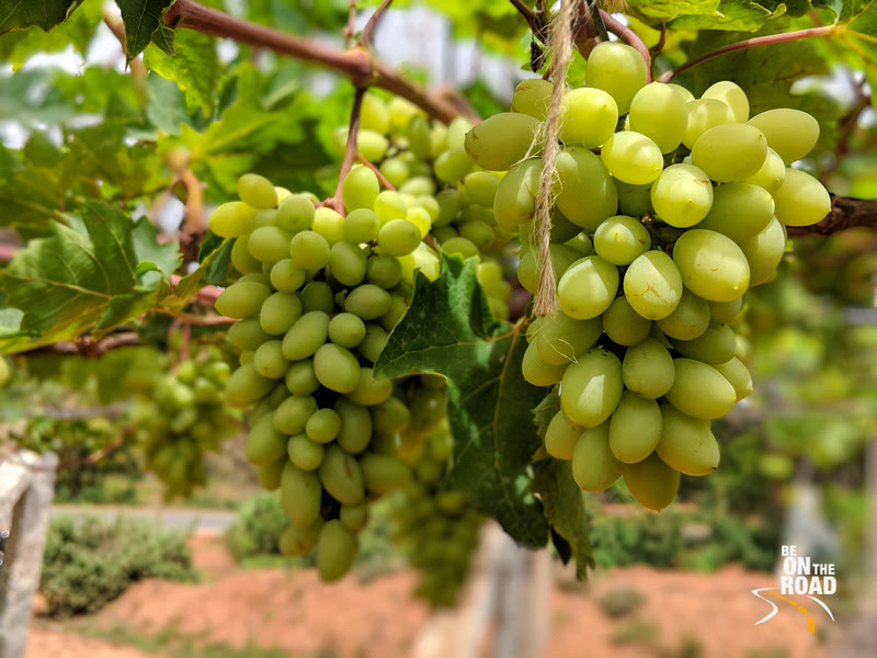 Grapes from a vineyard in Rural Chikkaballapur