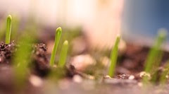 onion sprouts 2