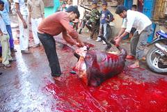 Shooting The Bull Kurbani at Behrampada Bandra East by firoze shakir photographerno1