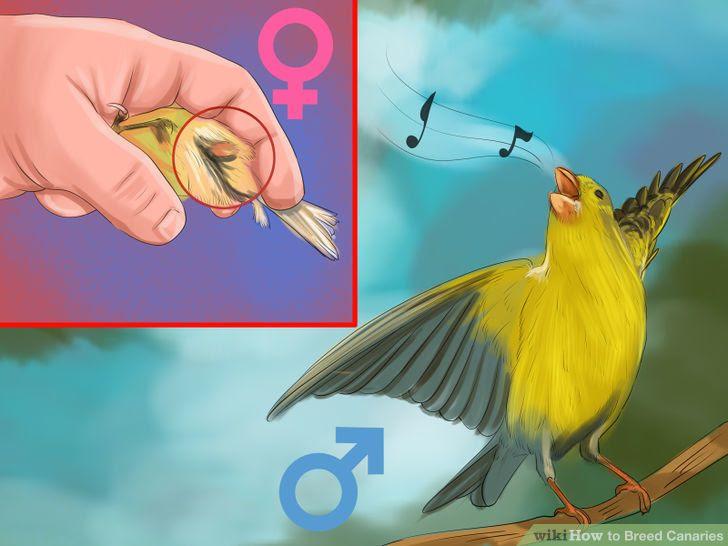Breed Canaries Step 3 Version 2.jpg
