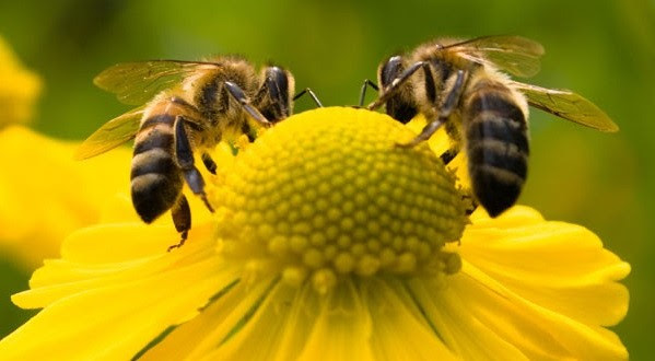 Abelhas+abelhas