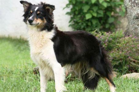 333120 As 10 raças de cães mais inteligentes As 10 raças de cães mais inteligentes