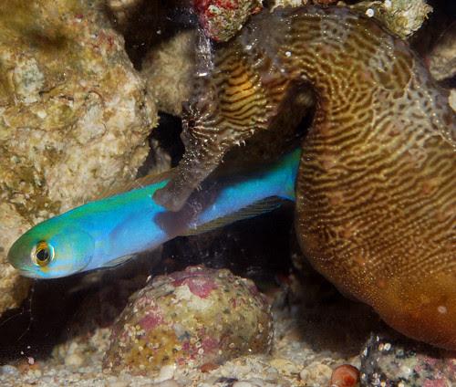 Flashing Tilefish and Seahorse