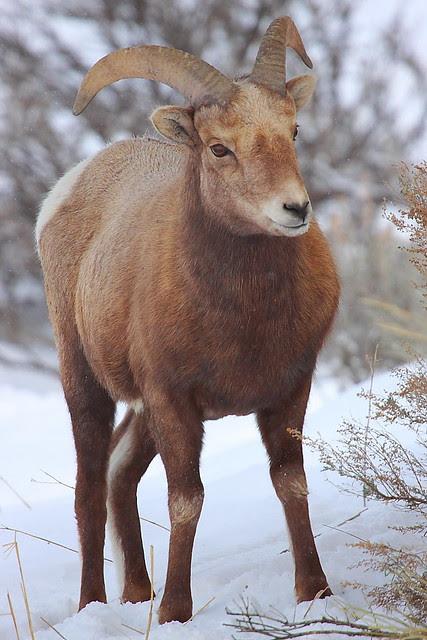 IMG_5214 Bighorn Sheep, Yellowstone National Park