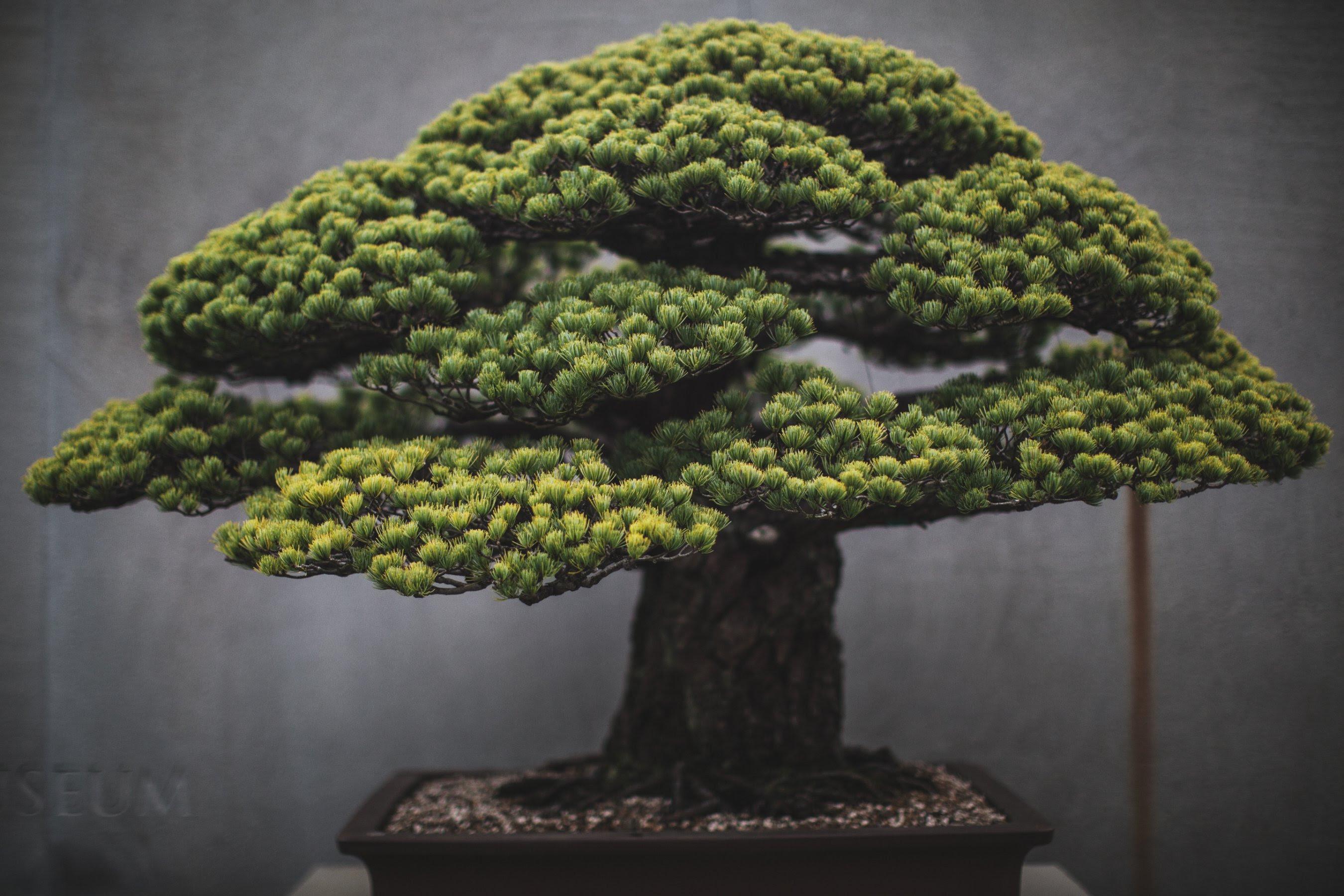 Bonsai Masters Share Their Ancient Secrets Cnn Style