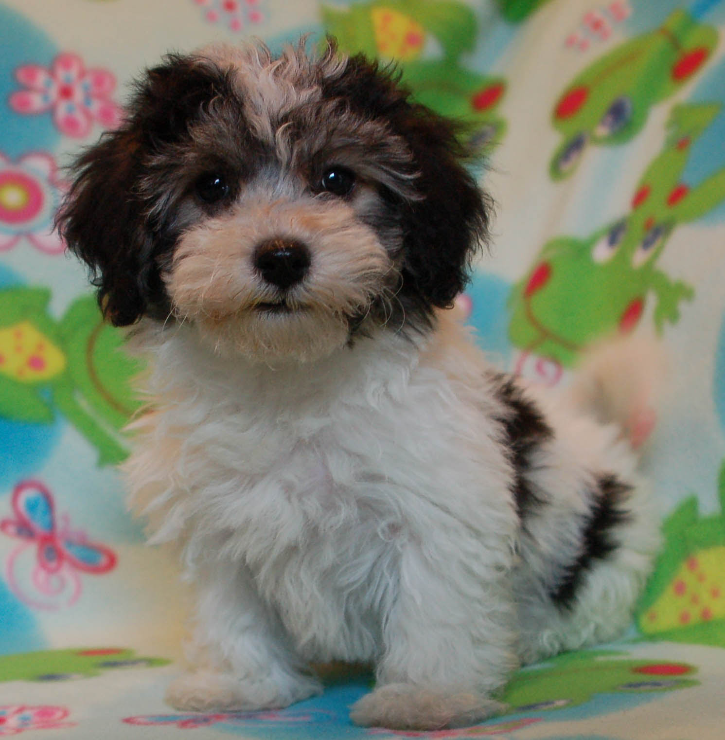 Royal Flush Havanese Reveals The Truth About Dogs and Air Travel