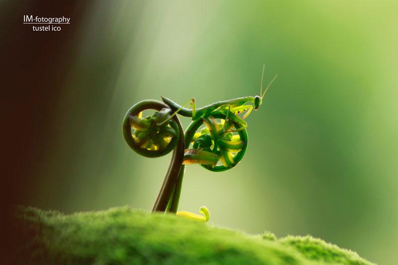 προσεύχεται ποδήλατο mantis